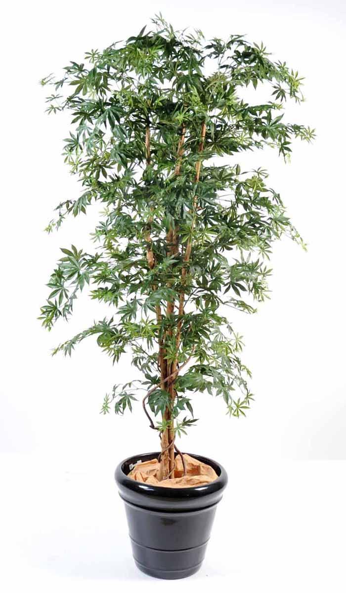 aralia-new-vert-1