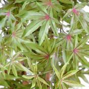 aralia-new-vert-rouge-4