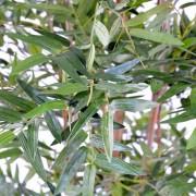 bambou-oriental-eco-2