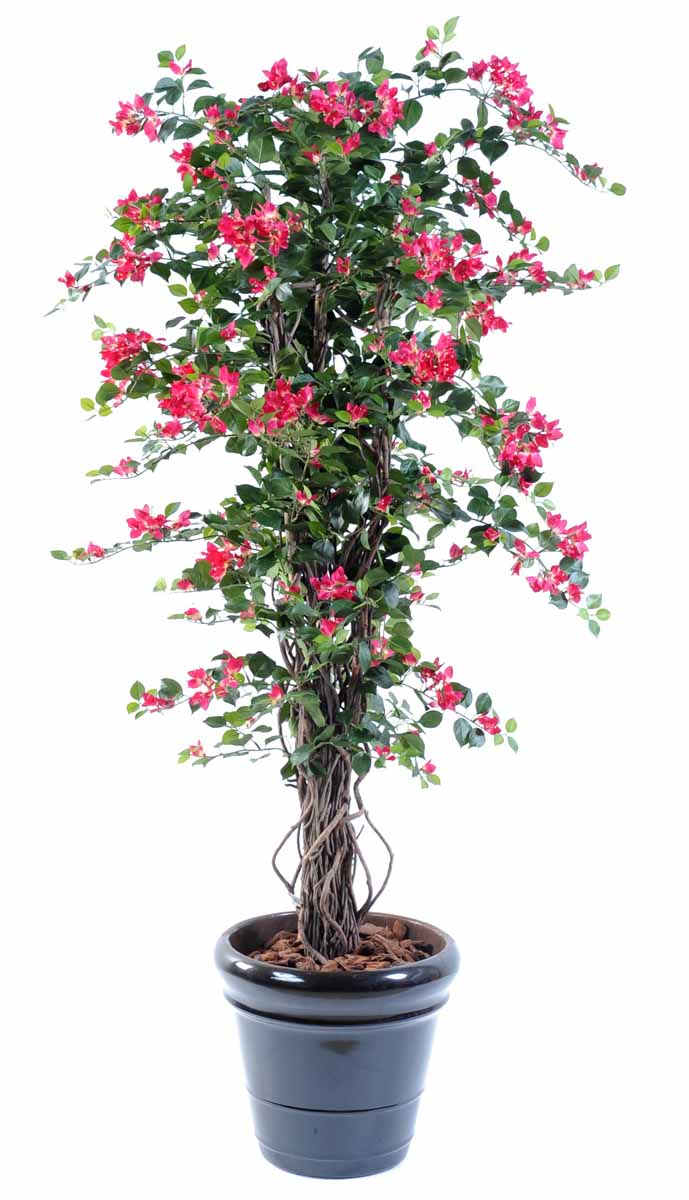 bougainvillee-new-lianes-180-1