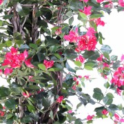 bougainvillee-new-lianes-180-3