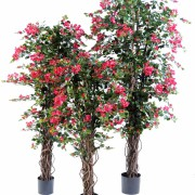 bougainvillee-new-lianes-180-4