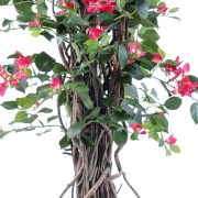 bougainvillee-new-lianes-2