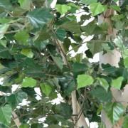 bouleau-arbre-3