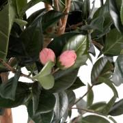 camelia-japonica-2