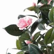camelia-japonica-3