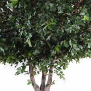 chene-arbre-3