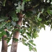 chene-arbre-4