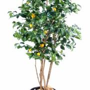 citronnier-new-1