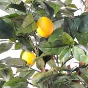 citronnier-new-3