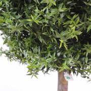 eucalyptus-plast-tige-3