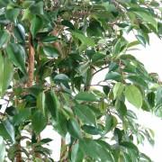 ficus-artificiel-multitree-natasja-2