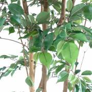ficus-artificiel-multitree-natasja-3