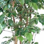 ficus-artificiel-multitree-natasja-4