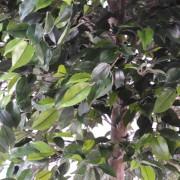 ficus-artificiel-natasja-tree-3