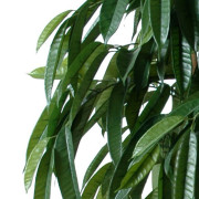 ficus-artificiel-root-longifolia-3