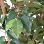 ficus-artificiel-vert-4