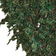 ficus-geant-tree-3