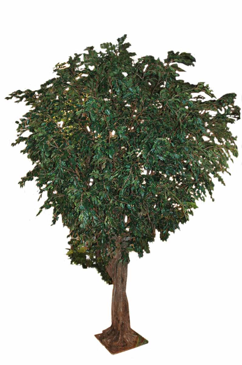 ficus-geant-tree
