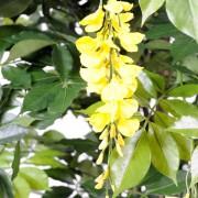 glycine-multi-tree-2