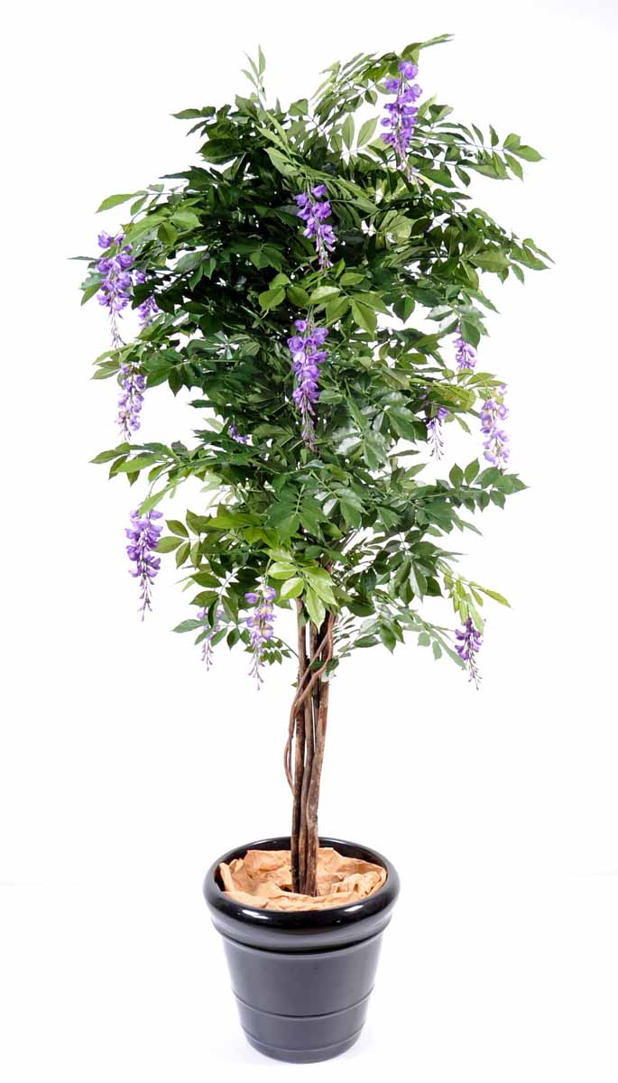 glycine-multi-tree-4