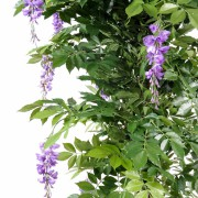 glycine-multi-tree-7