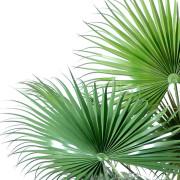 palmier-artifciel-camerus-3
