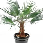 palmier-artificiel-washingtonia-6