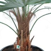 palmier-artificiel-washingtonia-7