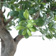 pittosporum-artificiel-arbre-4