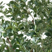 pittosporum-artificiel-arbre-6