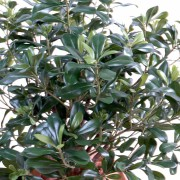 pittosporum-artificiel-buisson-2