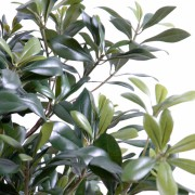 pittosporum-artificiel-buisson-3