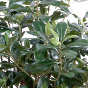 pittosporum-artificiel-buisson-4