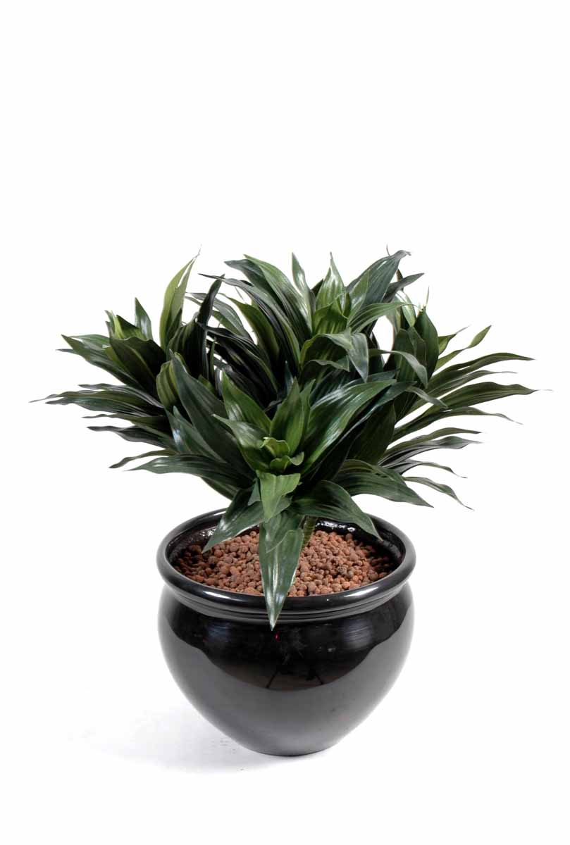dracena fragans decobac. Black Bedroom Furniture Sets. Home Design Ideas