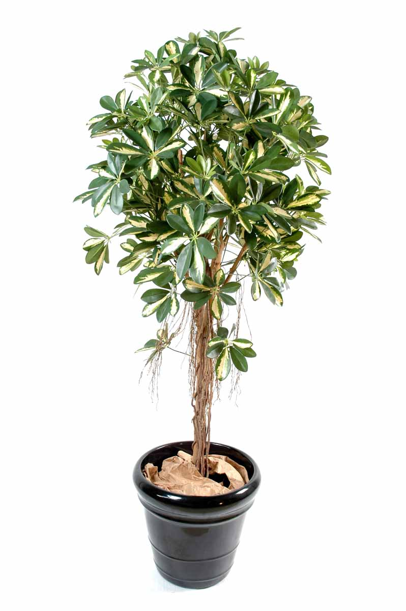 schefflera-artificiel-tree-panache-1
