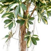 schefflera-artificiel-tree-panache-4