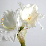 amaryllis-tige-blanc
