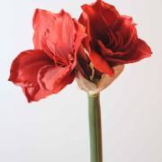 amaryllis-tige-rouge-1