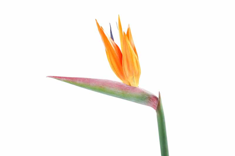 fleur-artificielle-strelitzia-2