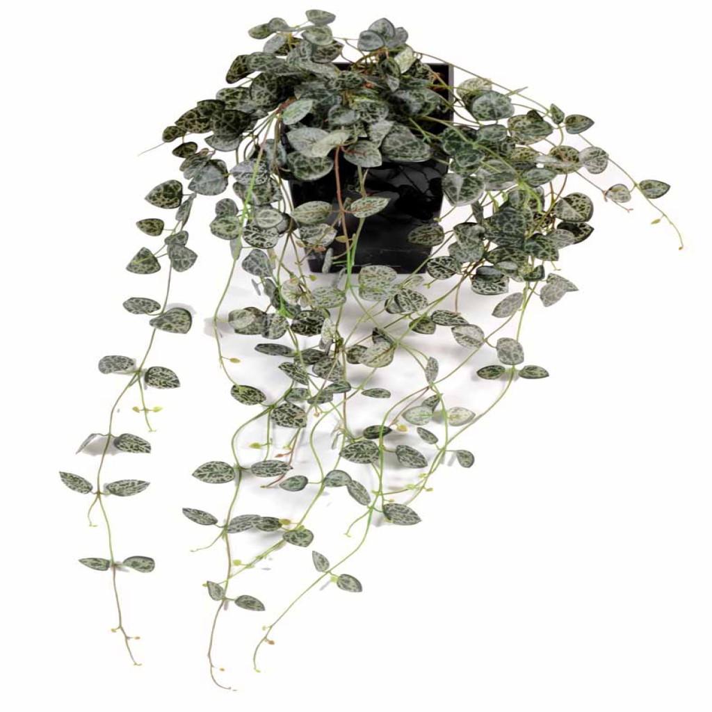 Ceropegia chaine des c urs decobac for Chaine de coeur plante entretien