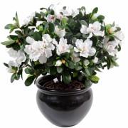 plante-artificielle-fleurie-azalee-blanc-1