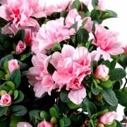 plante-artificielle-fleurie-azalee-rose-2
