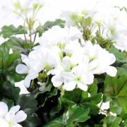 plante-artificielle-fleurie-geranium-lierre-blanc-2