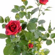 plante-artificielle-rosier-royal-rouge-2