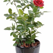 plante-artificielle-rosier-royal-rouge-3