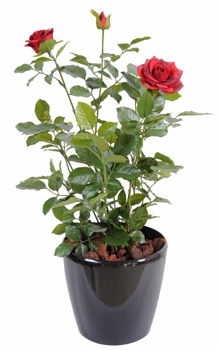 Rosier royal rouge decobac for Plante rouge