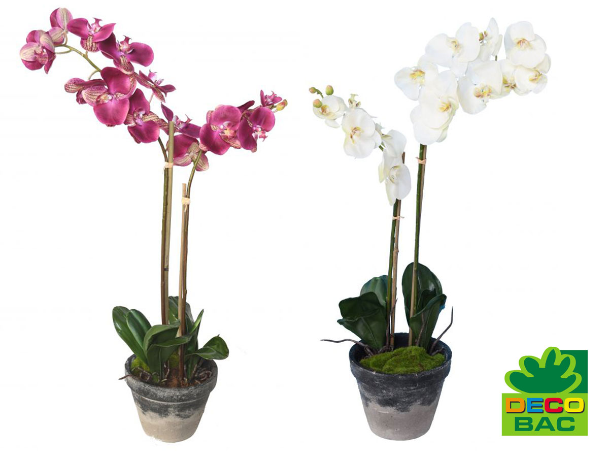 info-orchidee-phalaenopsis-